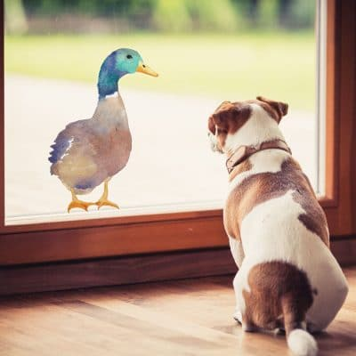 Duck window sticker (Option 1) on window with dog easy to apply and repositionable male Mallard