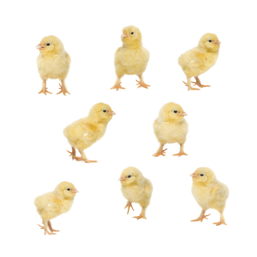 Little chick window stickers on a white background